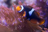 Black-photon-clownfish.jpg
